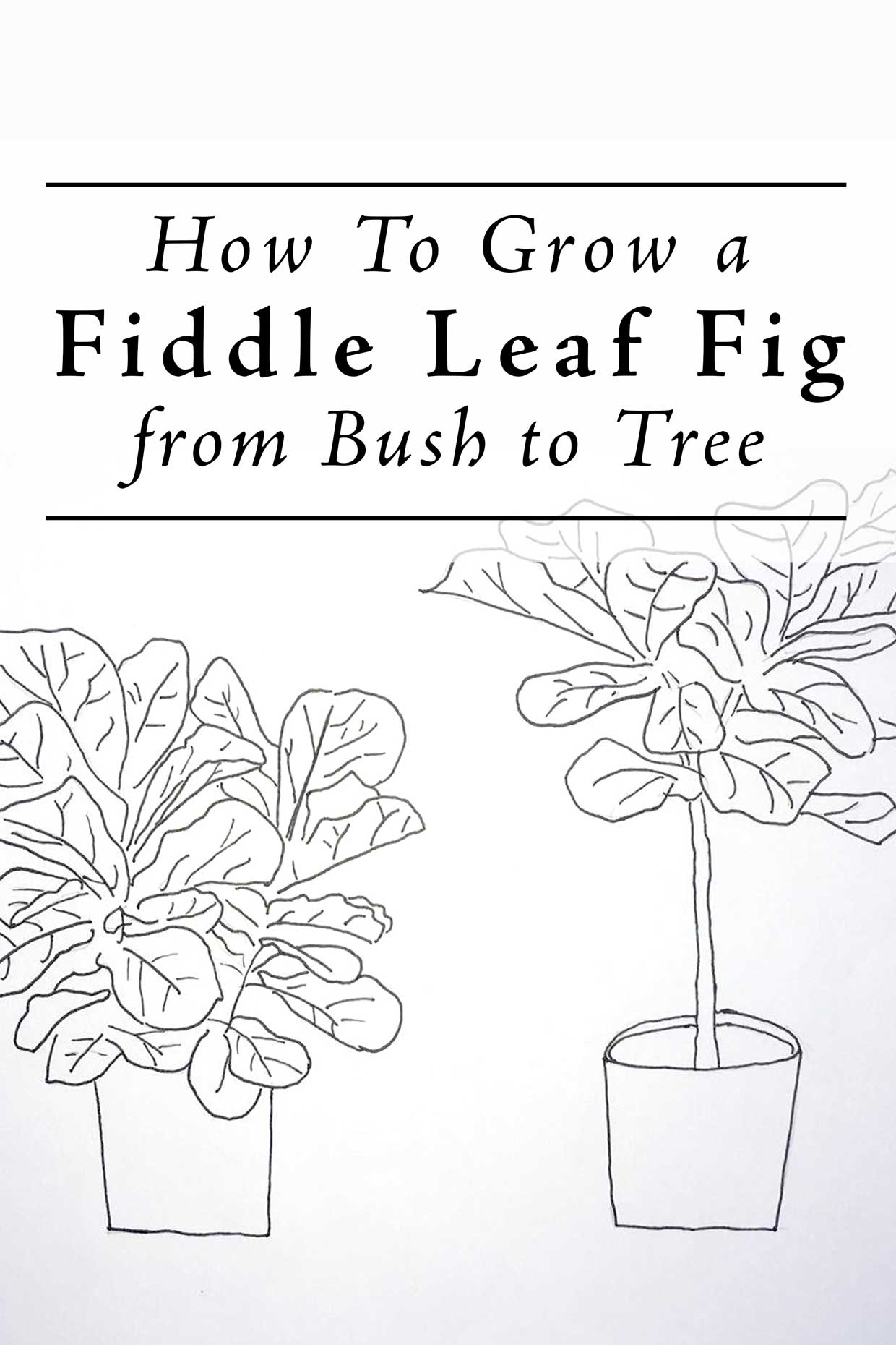 Grow A Ficus Lyrata From Bush To Tree Form. Save. Save. Tags: Fiddle Leaf  Fig ...