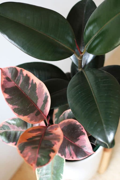 Variegated Pink Rubber Plant. Looking for indoor plants with pink foliage? Variegated house plants with pink leaves are easy to care for and look great. Best indoor plants for colour.