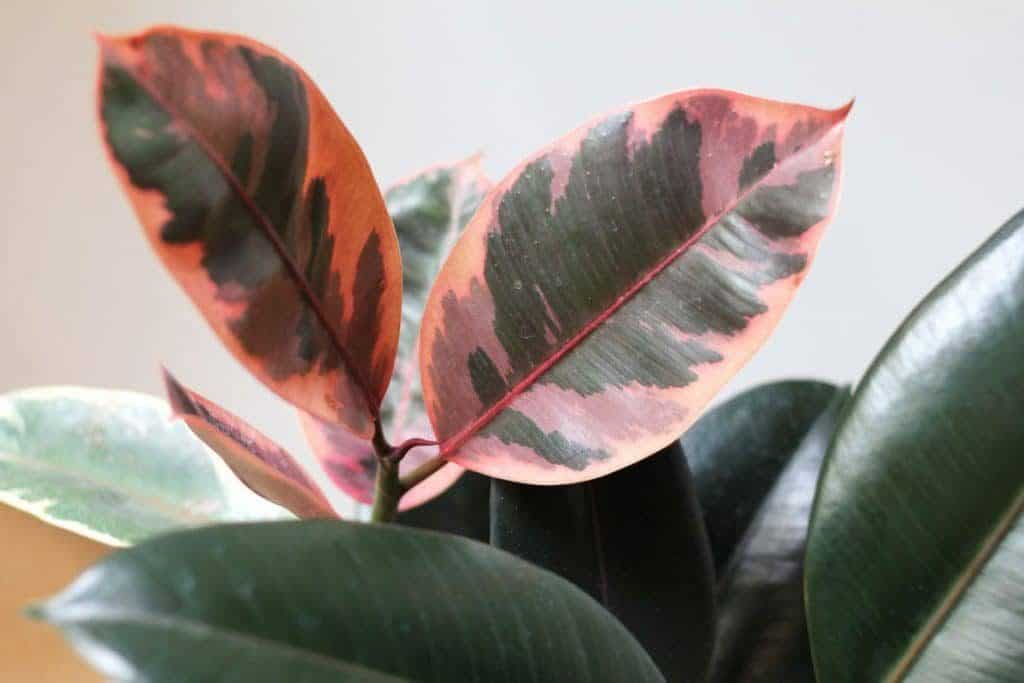 Trending: Indoor Plants with Pink Foliage2 min read