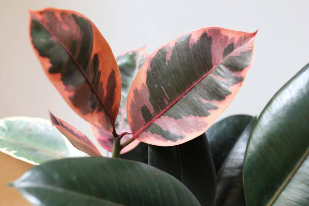 Trending Indoor Plants With Pink Foliage Add Colour To Your House