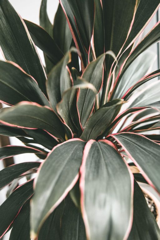Pink Cordyline Kiwi. Looking for indoor plants with pink foliage? Variegated house plants with pink leaves are easy to care for and look great. Best indoor plants for colour.