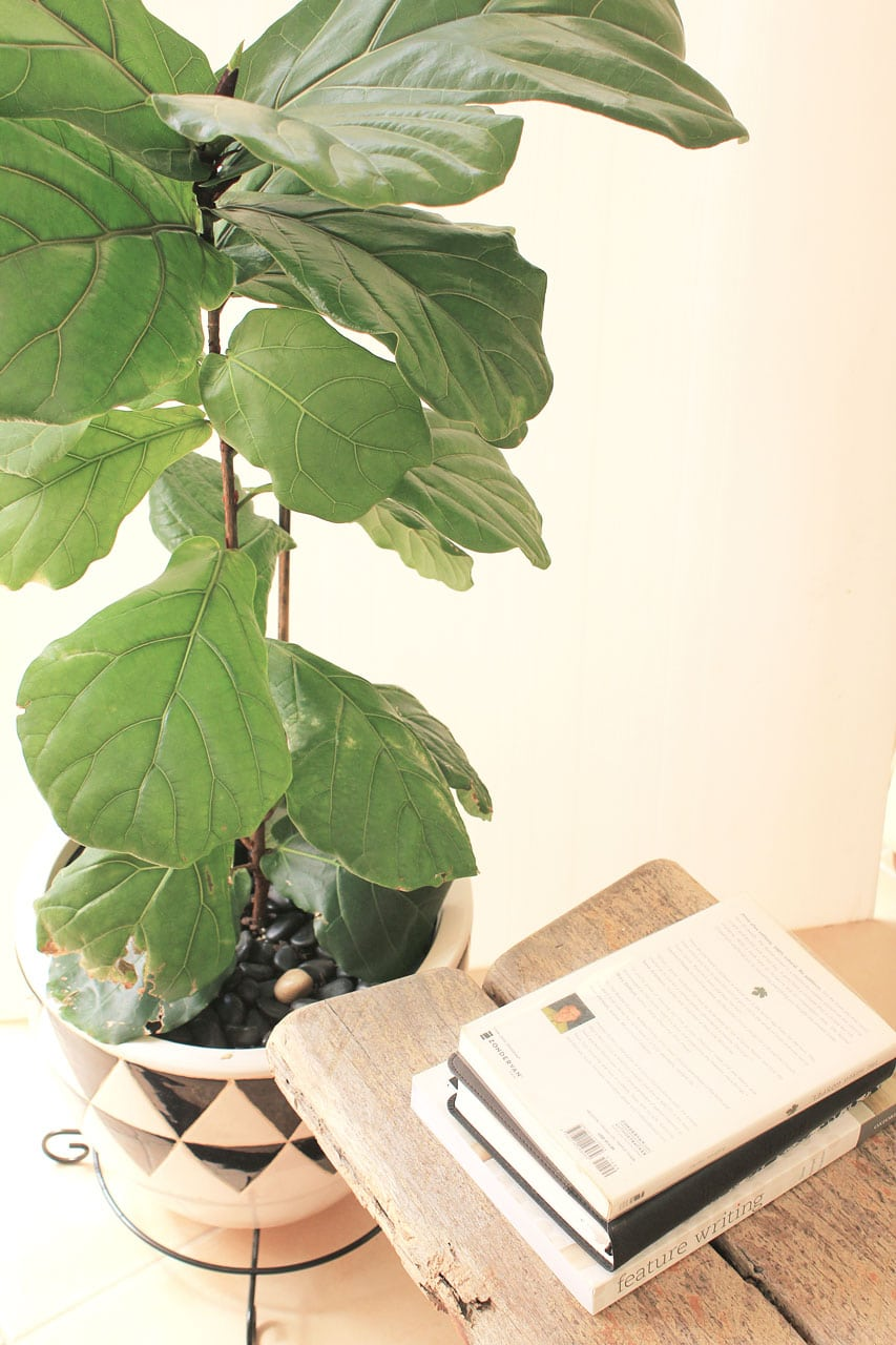 Fiddle Leaf Fig Update: Fertilizing, Staking, Spider Mites and Repotting