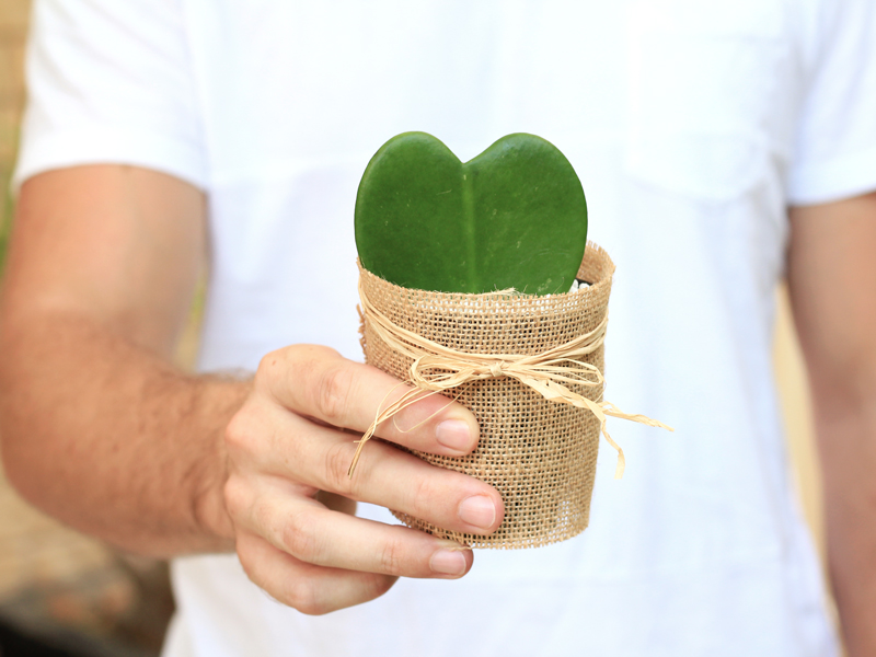 Heart-shaped Hoya Plant perfect for Valentine's Day gift | Dossier Blog