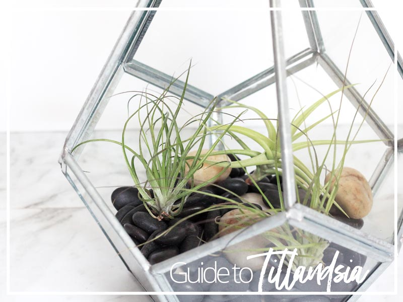 Guide to Tillandsia air plants | Dossier Blog