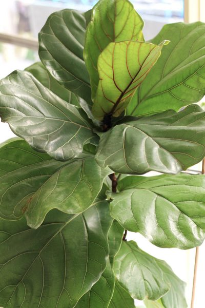 Double its growth - How to Fertilize your Fiddle Leaf Fig