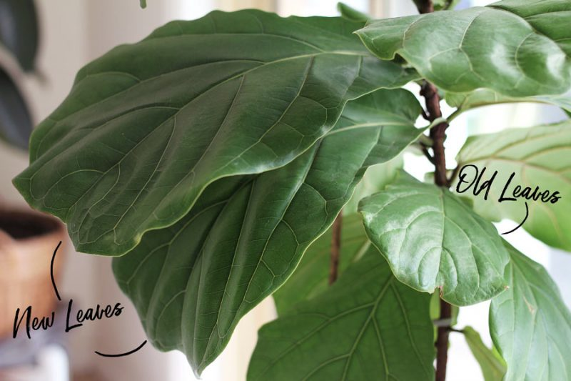 The one thing that doubled my Fiddle Leaf Fig growth- The right was to use fertilizer!