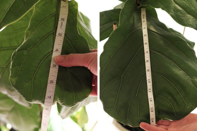 How extreme is the size difference on my Fiddle Leaf Fig leaves- before I fertilized, and once I started using a proper formulated FLF fertilizer!