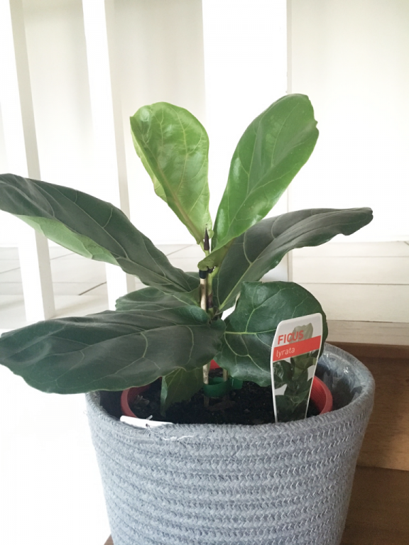 a young FLF - what to look for to bring home a healthy Fiddle Leaf Fig! | Dossier Blog