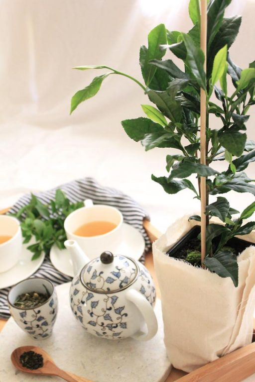 Oolong, Green and Black teas all come from the same tea plant - Camellia Sinensis. Here's how to make your own tea | Dossier Blog