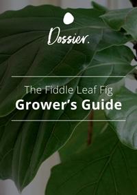 Dossier Blog Fiddle Leaf Fig Growers Guide